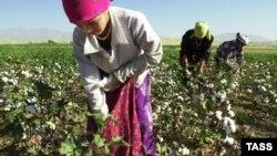 Arxiv fotosu: Tacikistanda tələbələr pambıq tarlasında. 9 sentyabr 2004