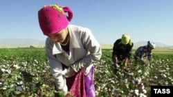 Tajik students take part in the cotton harvest