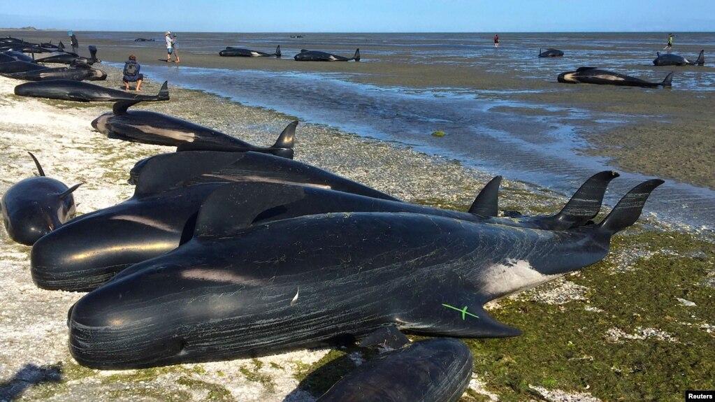 Дар соҳили Зеландияи Нав ҷасади 100 наҳангу делфин пайдо шуд