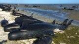 Partra vetődött delfinek Tasmániánál