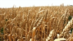 Շիրակի մարզում հացահատիկի «եռակի պակաս» բերք են ստացել