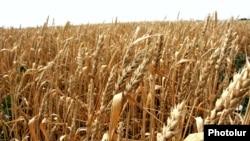 Armenia - A wheat field in Shirak province, 1Aug2012.