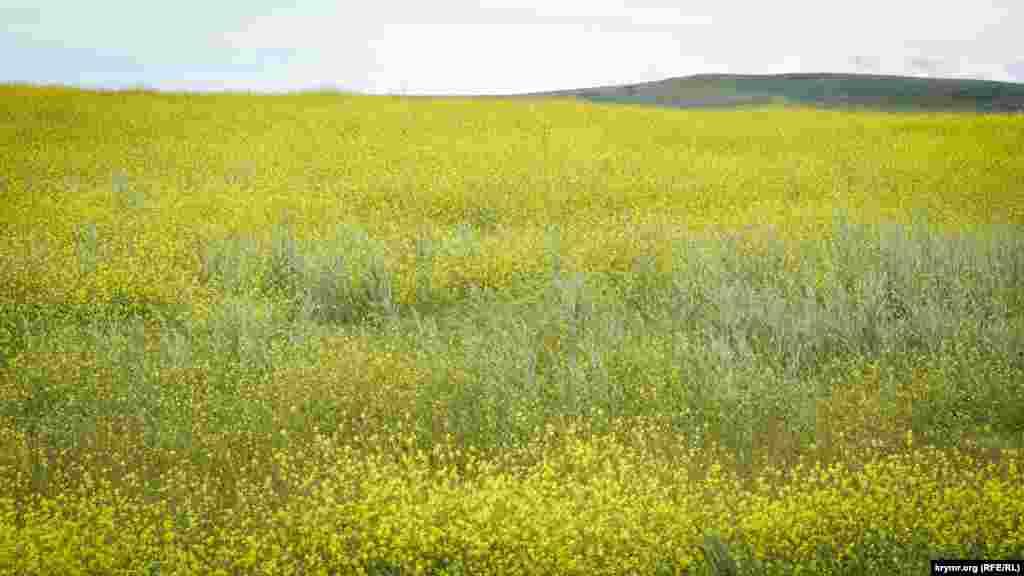 Доминирующий цвет в Караларской степи в конце мая – желтый. Сочетание голубого неба и поля ярко-желтых цветов традиционное для Керченского полуострова