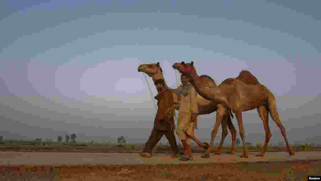 Pakistani men walk with camels they hope to sell at an Eid al-Adha market on the outskirts of Faisalabad.