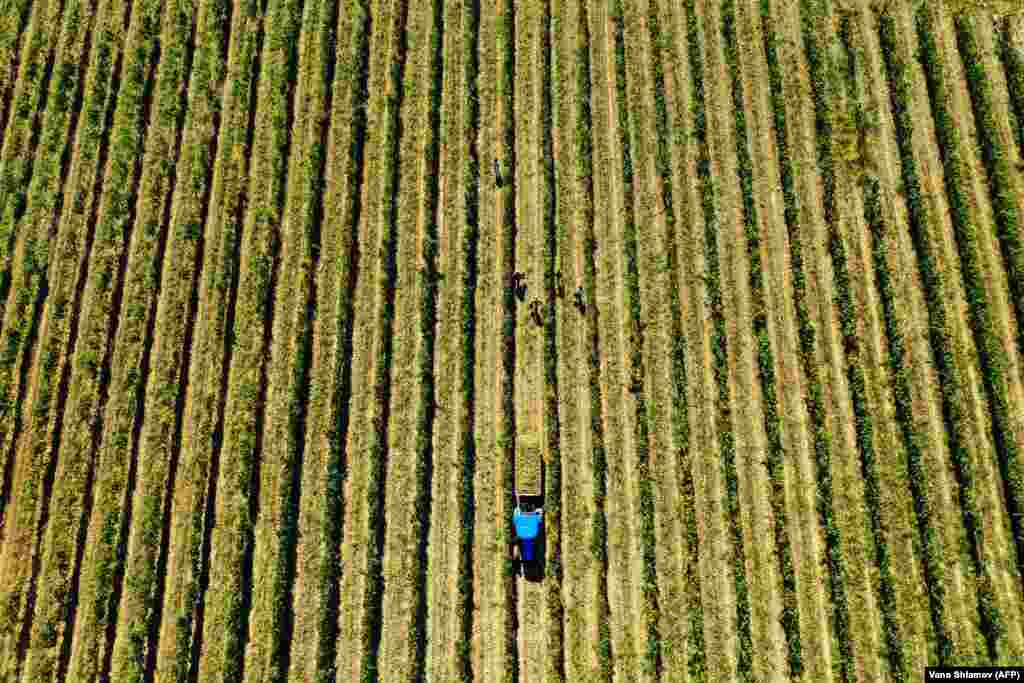 An aerial picture shows workers harvesting grapes at a vineyard in Georgia's Kakheti region. (Reuters/Pavel Mikheyev)