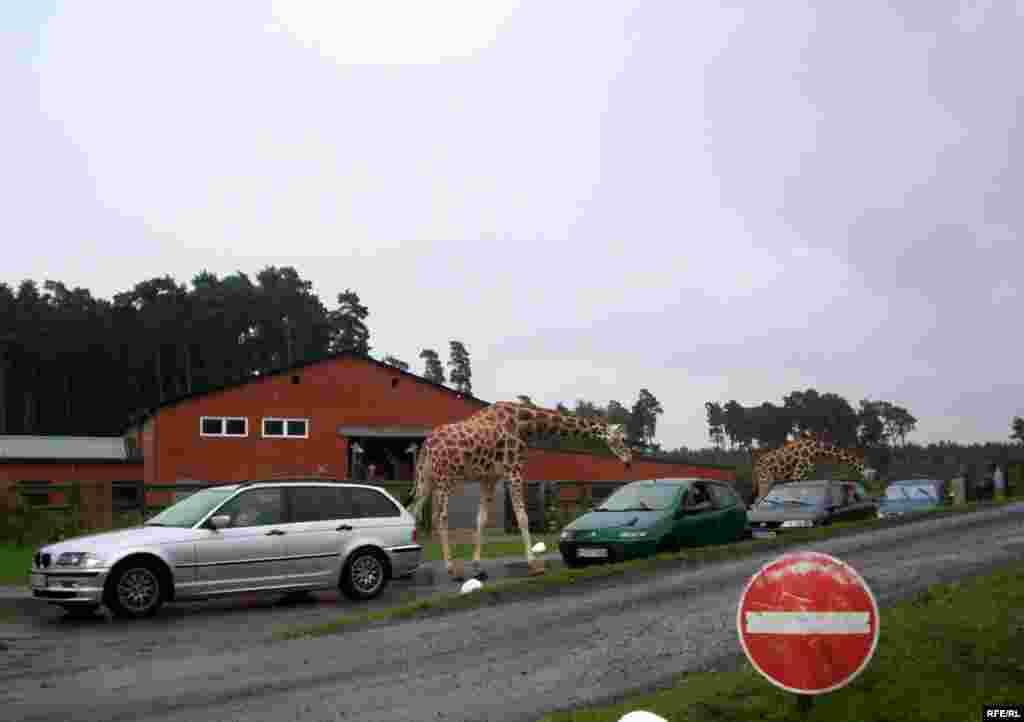 Almaniyanın Serengeti Parkı - parkın sahəsi-200 hektar ekzotik heyvanların sayı-1500 parkda səfər etmək ücün (safari) avtomobil yolunun uzunluğu-10 km