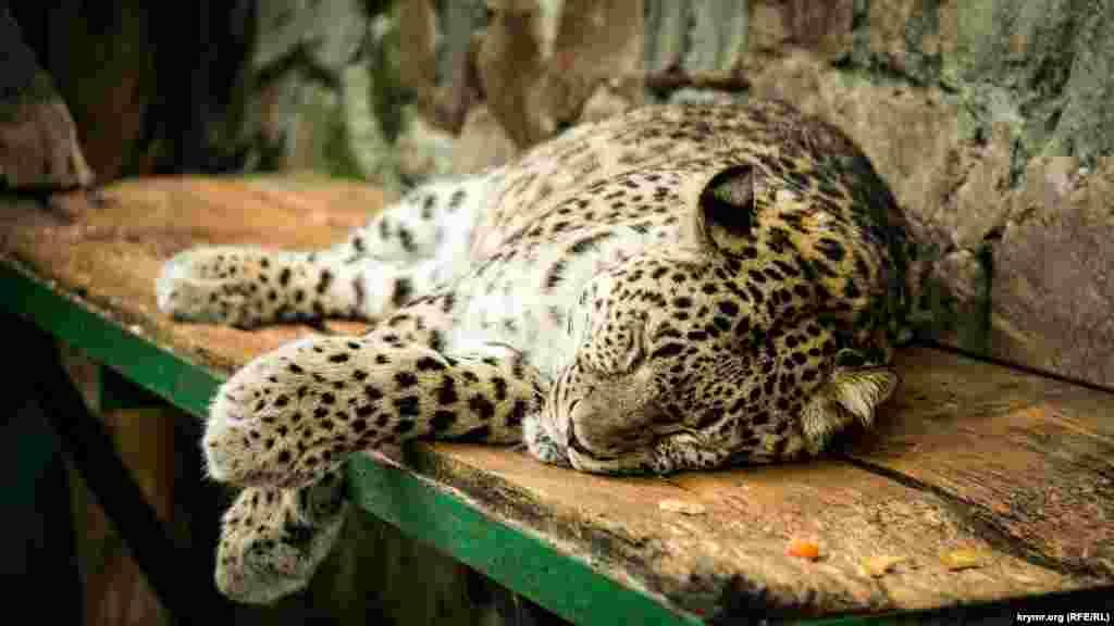 Тихий час у леопарда