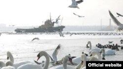 Буксири рятують лебедів від замерзання