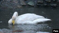 Причиной запрета стал варварский отстрел птиц, занесенных в Красную книгу - в частности, лебедей
