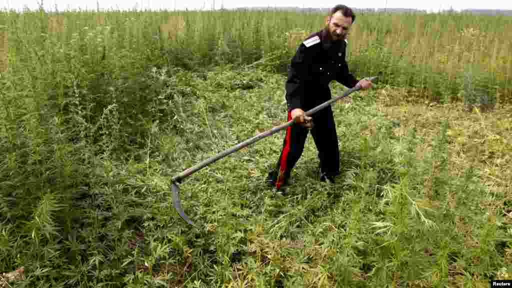 A Cossack mows down wild cannabis for burning during a raid near the settlement of Yemelianovo outside the Siberian city of Krasnoyarsk on July 12. (REUTERS/Ilya Naymushin)