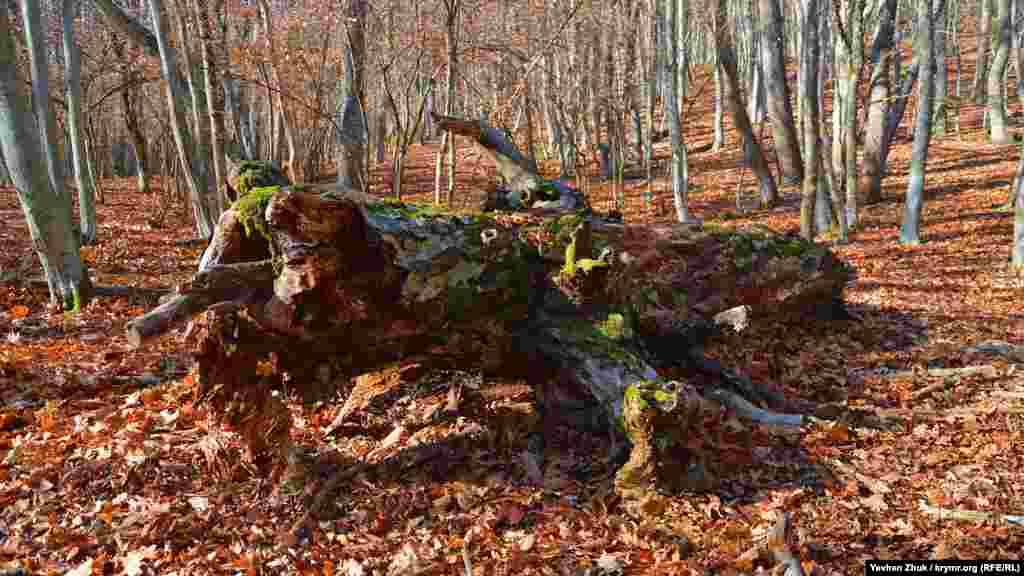 Стовбур старого дуба, щовпав, покритий мохом і виглядає дуже мальовничо