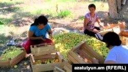 Հայաստան -- Ծիրանի բերքահավաք Արարատյան դաշտում, Հոկտեմբեր գյուղ, արխիվ