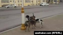 Беспризорные собаки, Ашхабад, январь, 2020