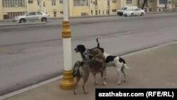 Aşgabadyň köçeleriniň birindäki öýsüz-öwzarsyz itler.