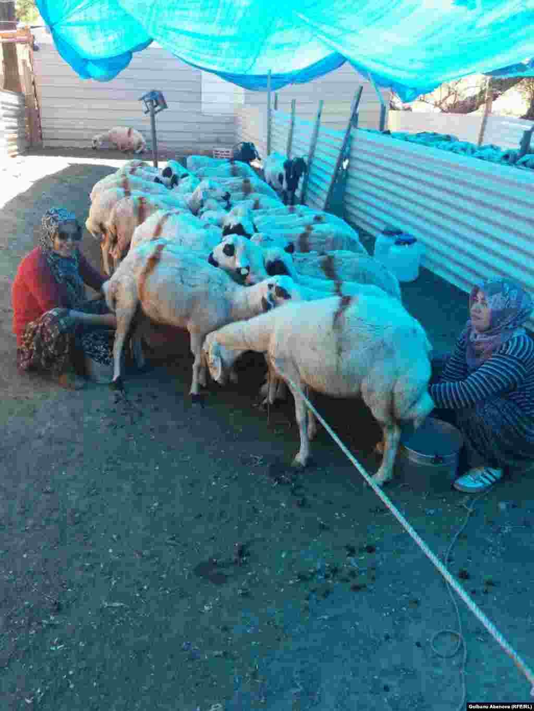 По словам Огура, содержать животных непросто, особенно в зимние дни. Корм стоит дорого. Молоко у Огура покупают фермы, изготавливающие сыры и знаменитый турецкий айран. Кроме того, Гуляржуз сдает овечью шерсть.