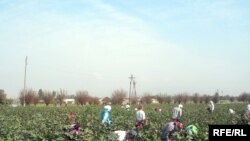 Tajikistan - Girls works in cotton field, Khujand, 01Oct2009