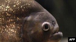 Пираня дар яке аз аквариумҳои Дубай