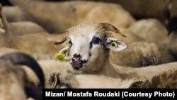 محموله گوسفندان رومانیایی روز چهارشنبه وارد تهران شد.