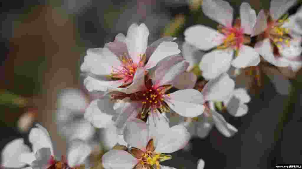 Поэтому раньше календарных сроков зацвели миндаль, алыча и абрикос, распустились цветы в парках и скверах
