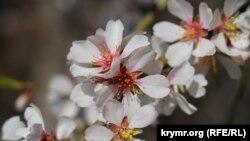 Первые «пляжники», разбитый «Ласковый берег» и деревья в цвету: Алушта мартовская (фотогалерея)
