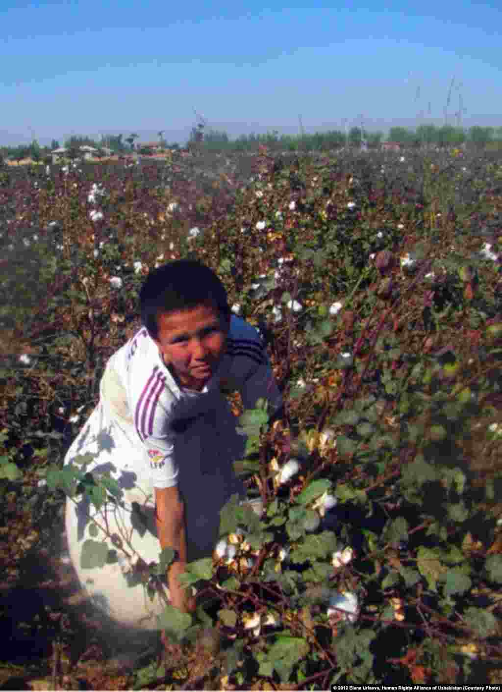 Boy picking cotton, October 2012