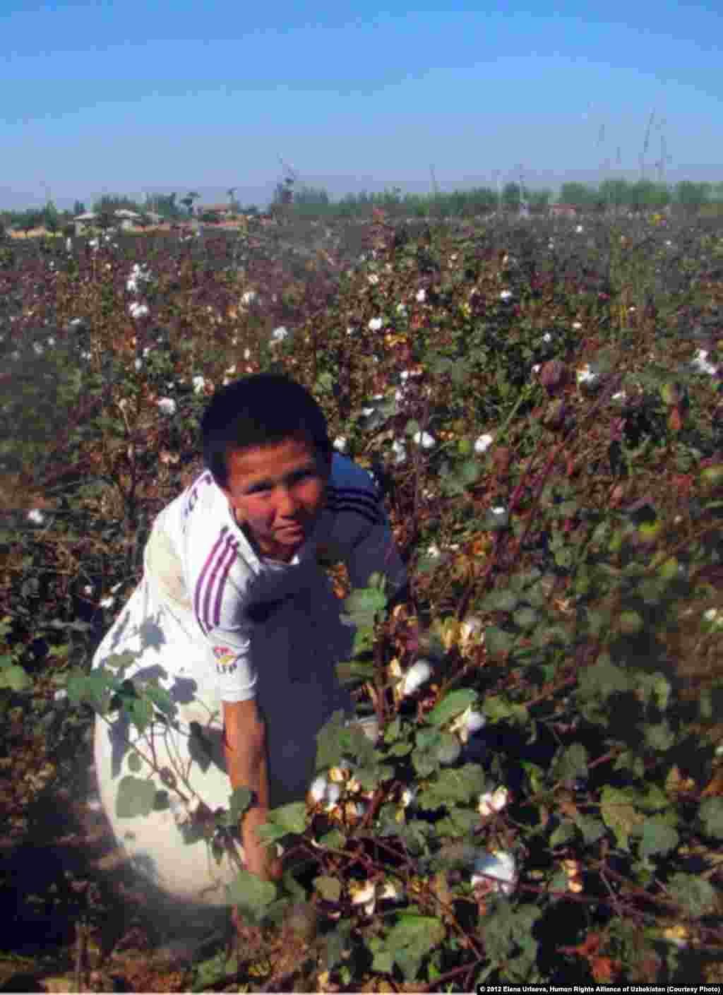 Boy picking cotton, October 2012