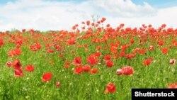 Красные маки - в память о погибших на полях войны