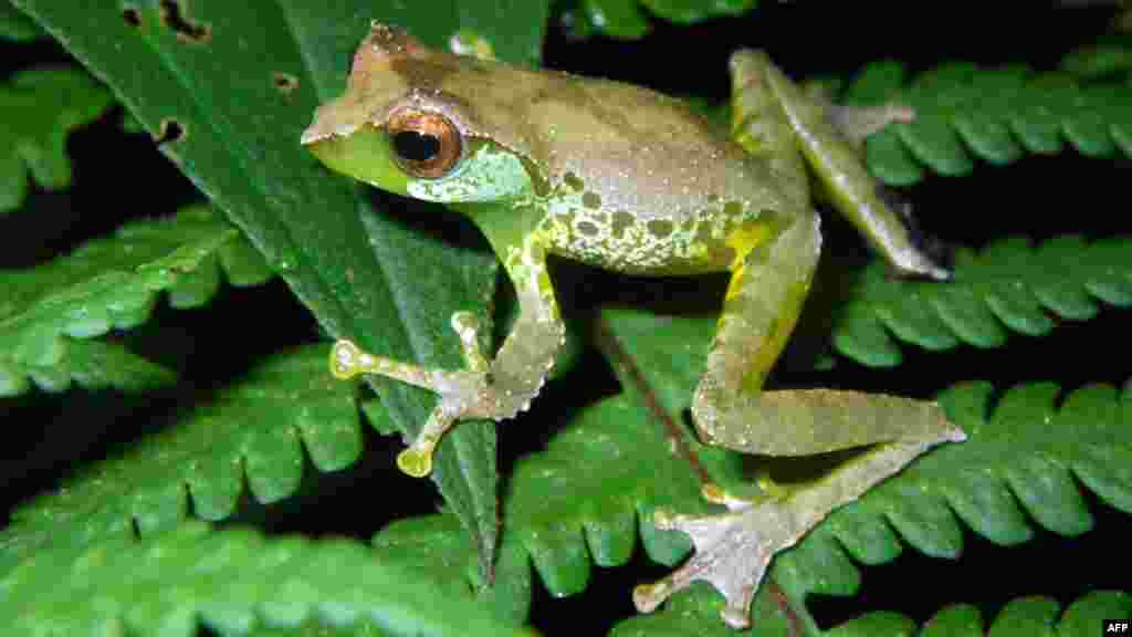 A sweet-singing frog (Gracixalus Quangi), which uses unique calls to attract females, was one of the new species discovered in the high-altitude forests of northern Vietnam in 2011. A new report from the WWF details other discoveries made last year -- 126 new species in the Greater Mekong area, from a devilish-looking bat to a walking catfish. (AFP/WWF/Jodi J.L. Rowley/Australian Museum)