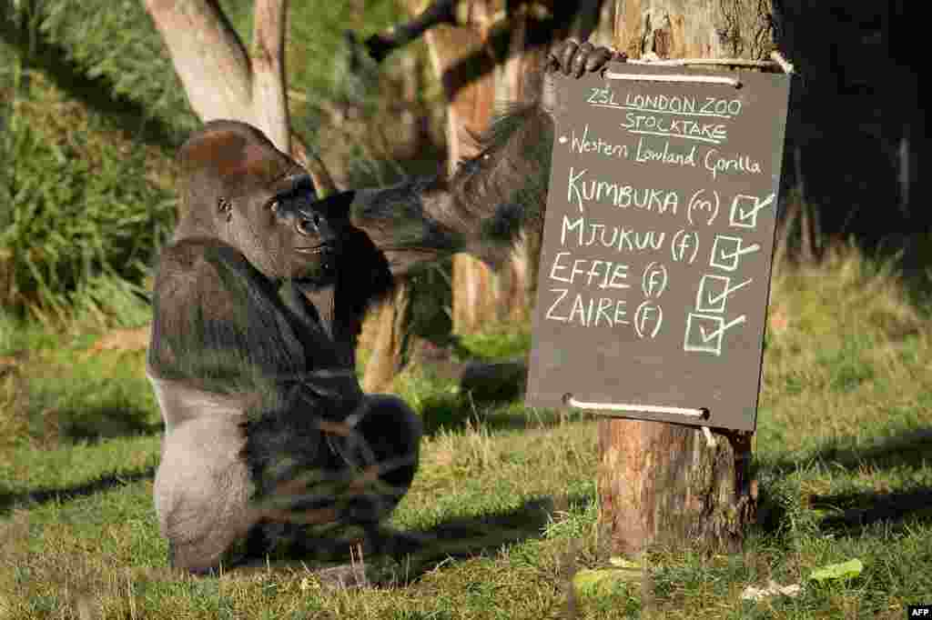 Kumbuka, a male western lowland silverback gorilla, touches a chalkboard in a photocall for London Zoo's annual stocktake. (AFP/Leon Neal)