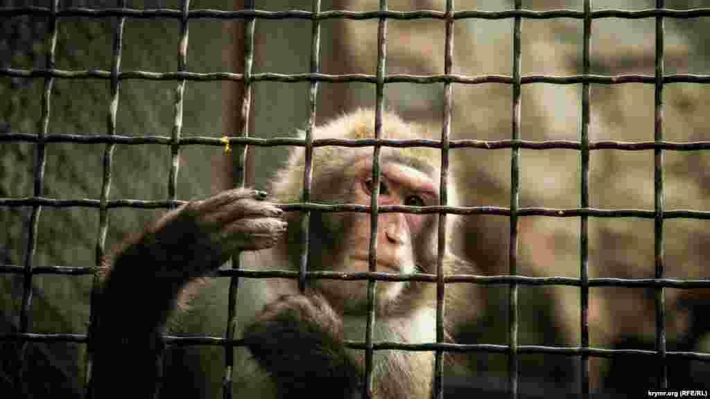 Яванський макака. Ця мавпа любить ловити та їсти крабів, через що її називають макака-крабоїдний
