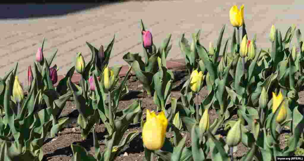 Низкорослые тюльпаны только начинают распускаться