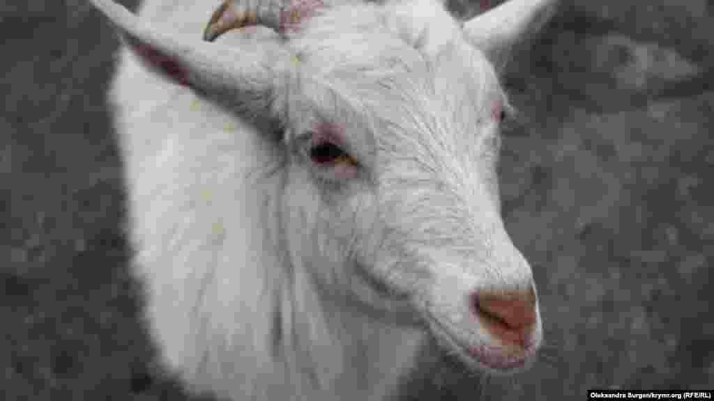 Ее зовут Машка. Умер-ага шутит, что козе нужно было родиться собакой, потому что она везде следует за своим хозяином