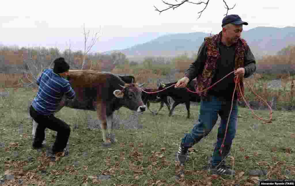 Мужчины в Степанакерте ведут корову на забой. Во время конфликта город с населением около 55 тысяч жителей практически опустел. В последние недели в Степанакерт вернулись тысячи людей.