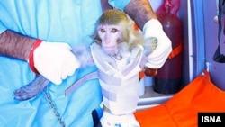Обезьянка, по заявлениям Ирана, отправленная в космос и возвращенная на Землю, январь 2013 года.