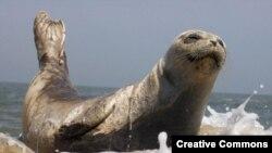 Тюлень настоящий, семейство млекопитающих, подотряд ластоногих.