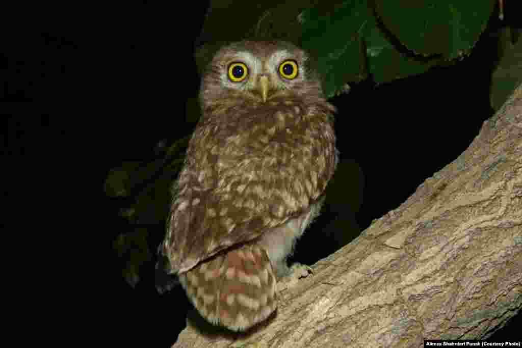 جغد کوچک، Little Owl، طول بدن ۲۲ سانتيمتر، زيستگاه: بيشتر در شکاف سنگها و ديوارههای رودخانهها و کشتزارها، خرابهها وگاهی در سواخ درختان زندگی میکنند