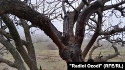 Фисташковое дерево в Хатлонской области Таджикистана. 5 января 2017 года.