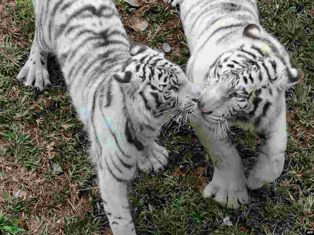 China presented a pair of rare white tigers to the zoo in Sri Lanka's capital, Colombo, as a sign of friendship. - Photo by Ishara S. Kodikara for AFP