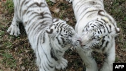 A pair of white Tigers walk in the Zoological Gardens in Colombo, Sri Lanka.