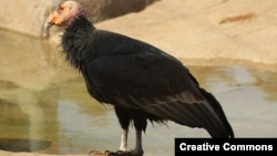 رُخکرکس کالیفرنیا که در معرض انقراض است.