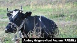 Корова (архивное фото)