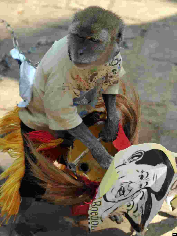 Інданэзія: малпа трымае партрэт прэзыдэнта Сусіла Бамбанга