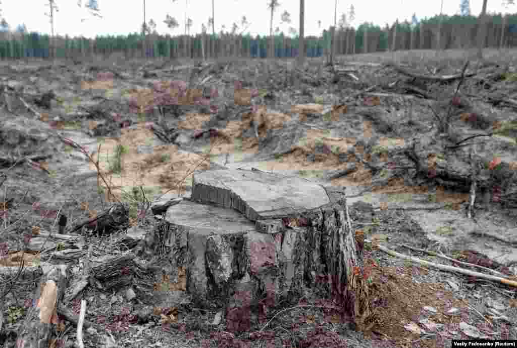 Pine stump is left after deforestation in a forest near the village of Piatrylava, Belarus April 21, 2020. Deforestation is one of many issues that the World Earth Day is trying to bring awareness of.
