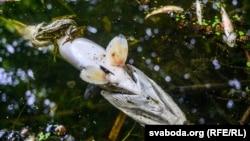 Мёртвая рыба наберазе ракі Котры паблізу вёскі Сіўкава