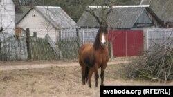 Чэхаўцоўскі конь, які пасьвіўся побач зь месцам, дзе затрымалі віетнамцаў