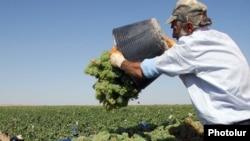 Armenia -- Villagers collect grapes at a vineyard in Armavir region.
