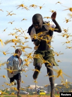 Сенегалда малайлар саранча куа