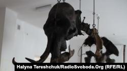 Мамонт після реставрації. Львівський природничий музей