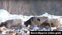 Коровы на мусорке, архивное фото