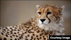 Gepardi su ugroženi jer žive izvan zaštićenih područja i sve češće dolaze u kontakt s ljudima